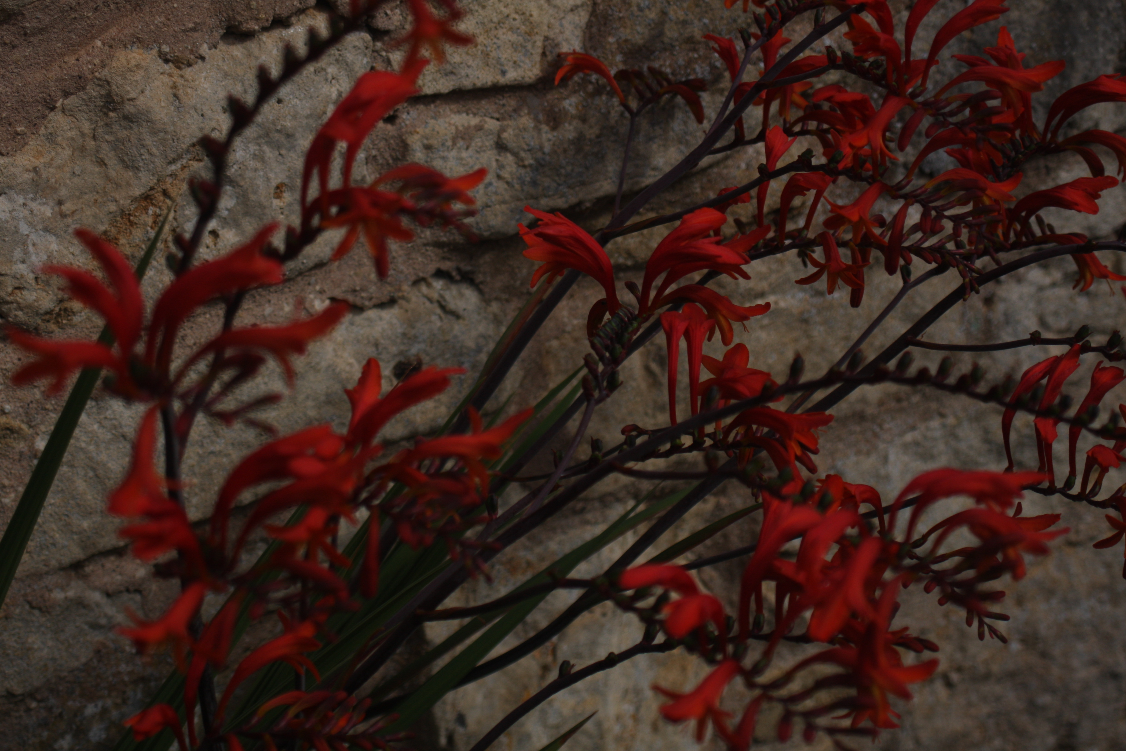 a photo of crimson red flowers in front of a stone wall