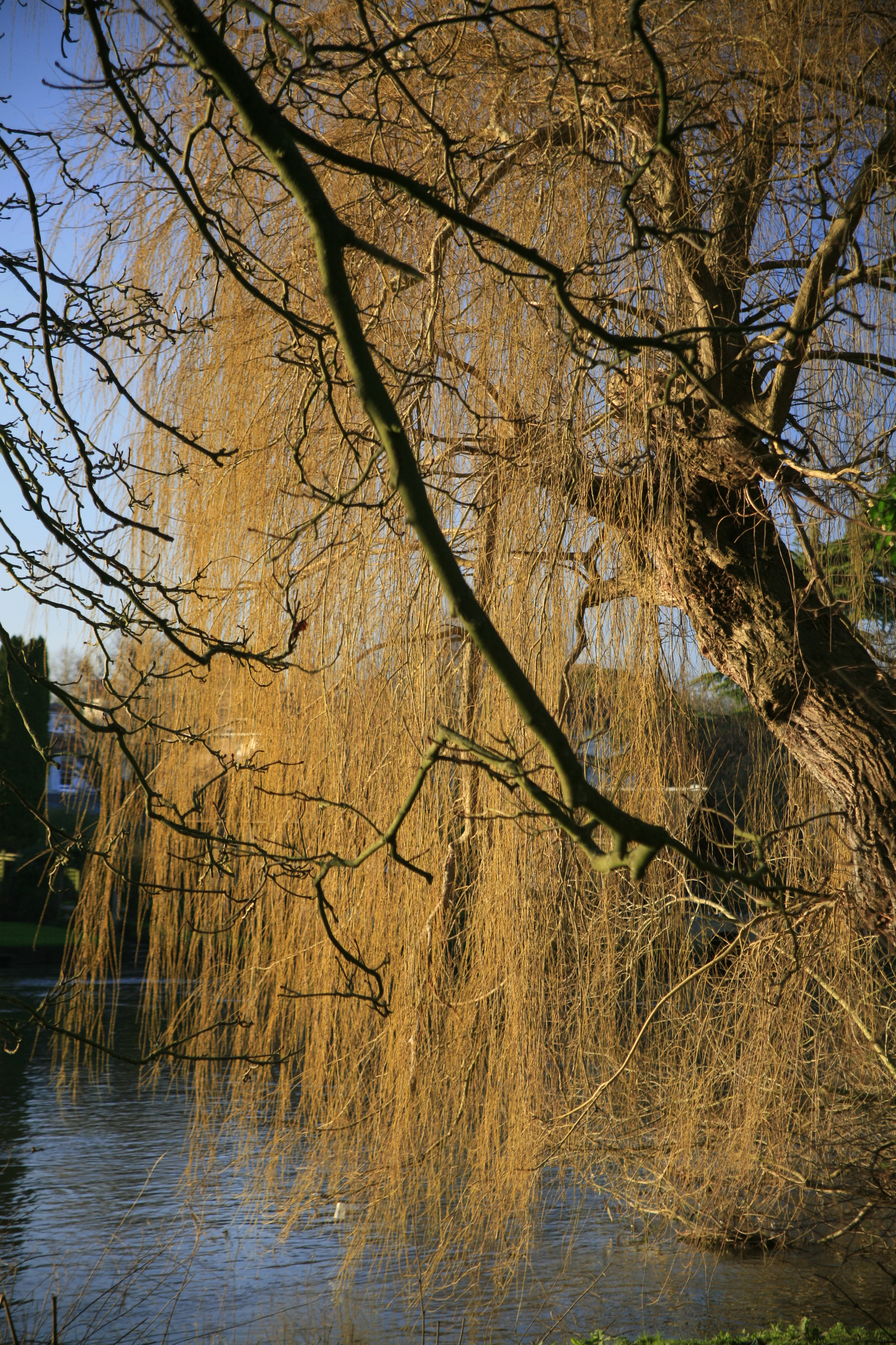 A photo of a weeping willow tree with golden leaves in bright afternoon sunlight