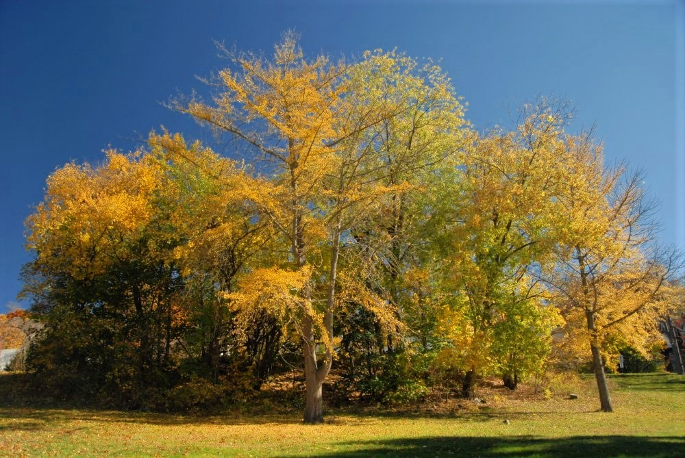 a copse of golden yellow trees on a rolling hill covered in yellow leaves