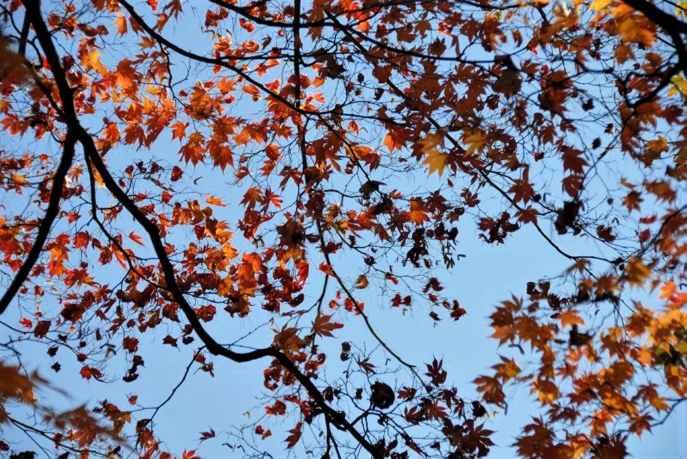 a view from below of tree branches with bright red leaves and a blue sky in the background