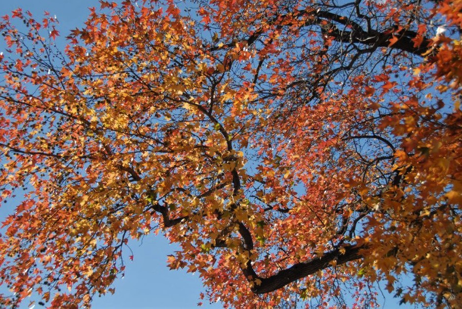 a view looking up at tree branches with bright red leaves, a blue sky in the background