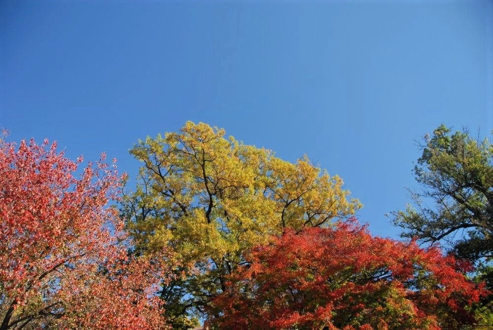 the upper branches of red and golden trees with a vivid blue sky above