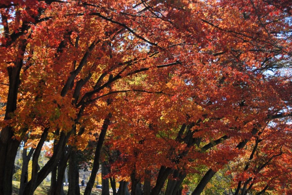 a copse of trees with brilliant red leaves
