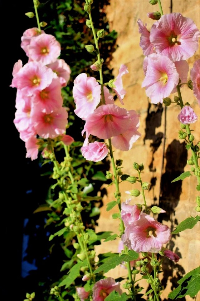 stems of light pink flowers against a tan stone wall