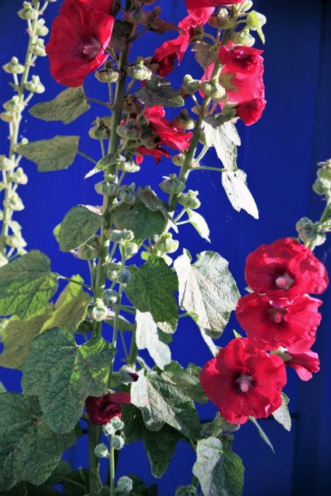 stems of bright red flowers against a  deep royal-blue background