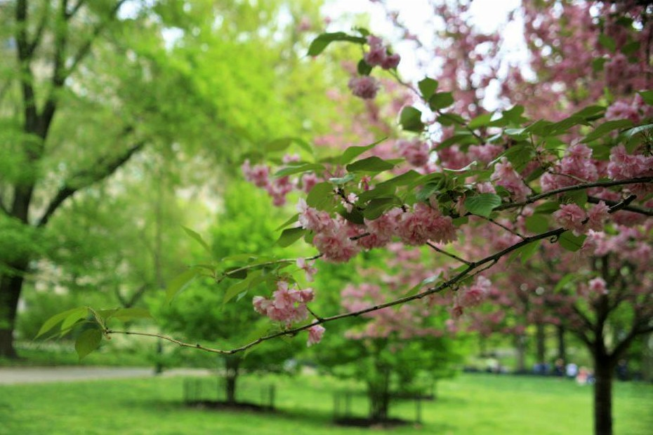 A branch of a pink flowering tree in the foreground against vibrant green grass and trees in the background