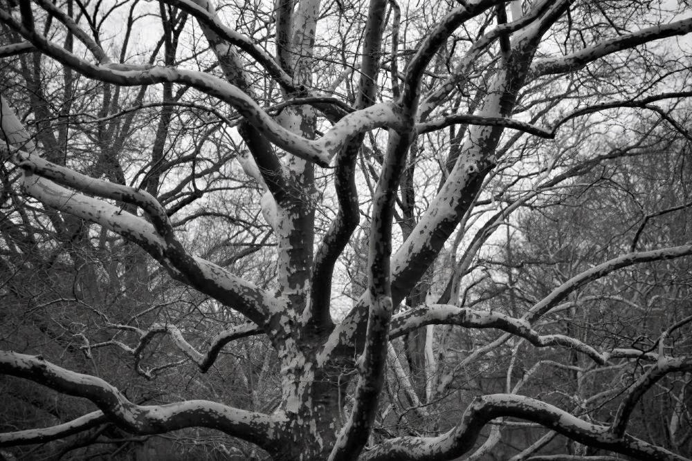 An old tree with many interweaving, leafless branches