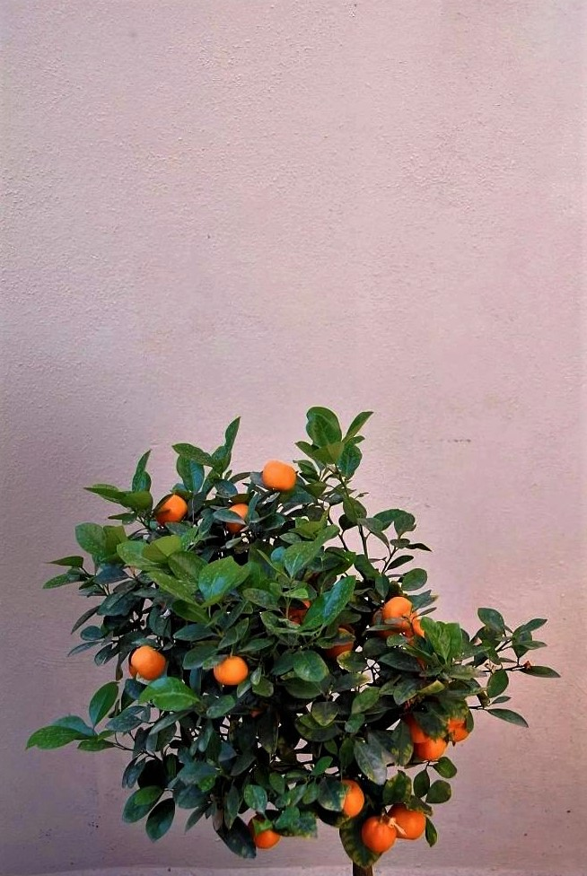 An orange tree laden with oranges sits in the foreground against a mauve terracotta wall