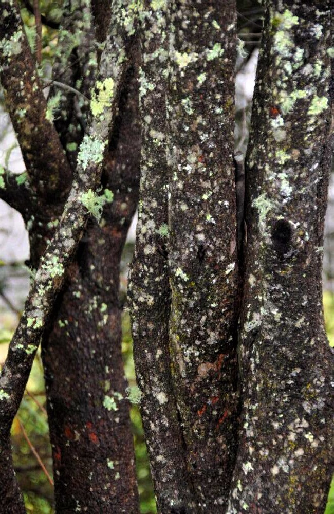 A close-up photo of multiple tree trunks clustered closely together and covered in lichen and moss